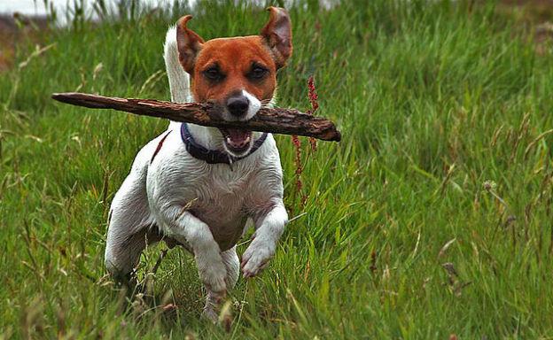 Jack russel Il cane più intelligente che ci sia My Pet