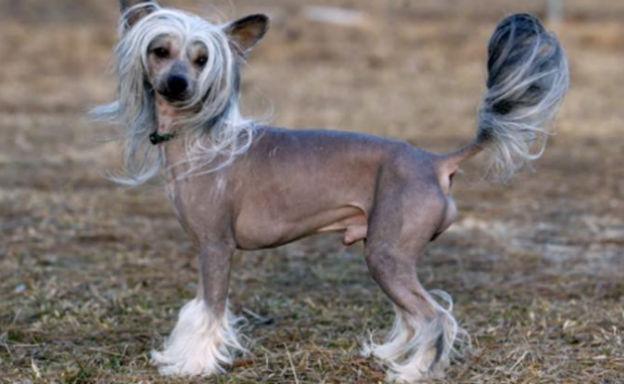 Chinese crested dog il cane della dinastia imperiale han for Tequila e bonetti cane razza