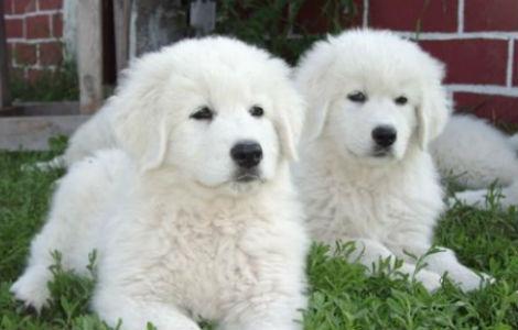 Pastore maremmano abruzzese cuccioli