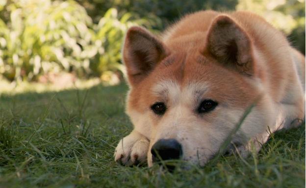 Razze cani - akita inu