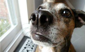 olfatto dei cani