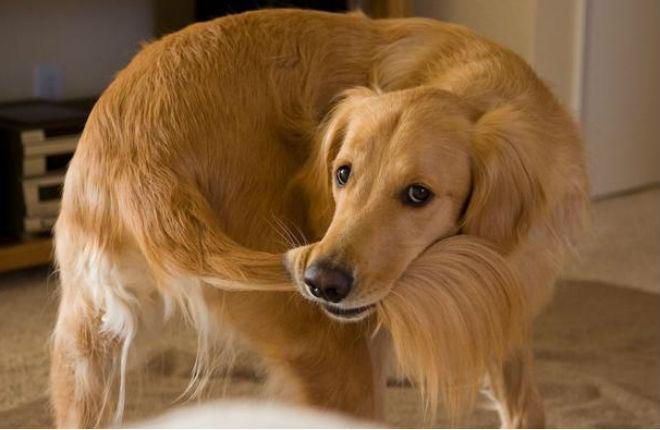Risultati immagini per cane segue la coda