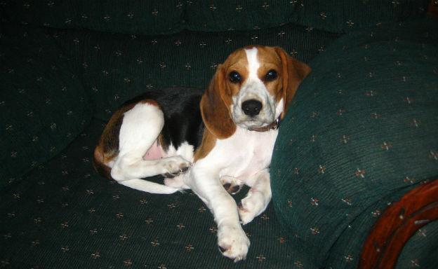 beagle adulto che riposa sul divano