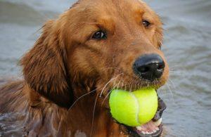 golden retriever gioca con palla in bocca