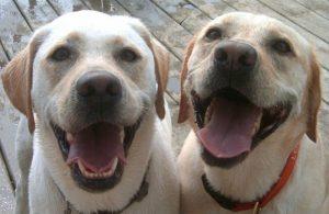 gemelli di labrador bianco