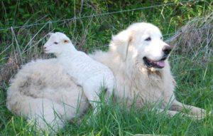 pastore maremmano bianco con capretta
