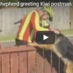 [video] Pastore tedesco aspetta il postino per la sua dose giornaliera di coccole