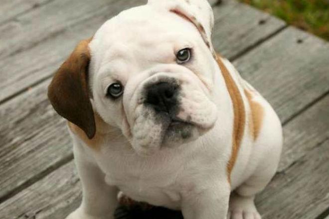 bulldog inglese prezzo yahoo dating
