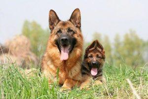 pastore-tedesco